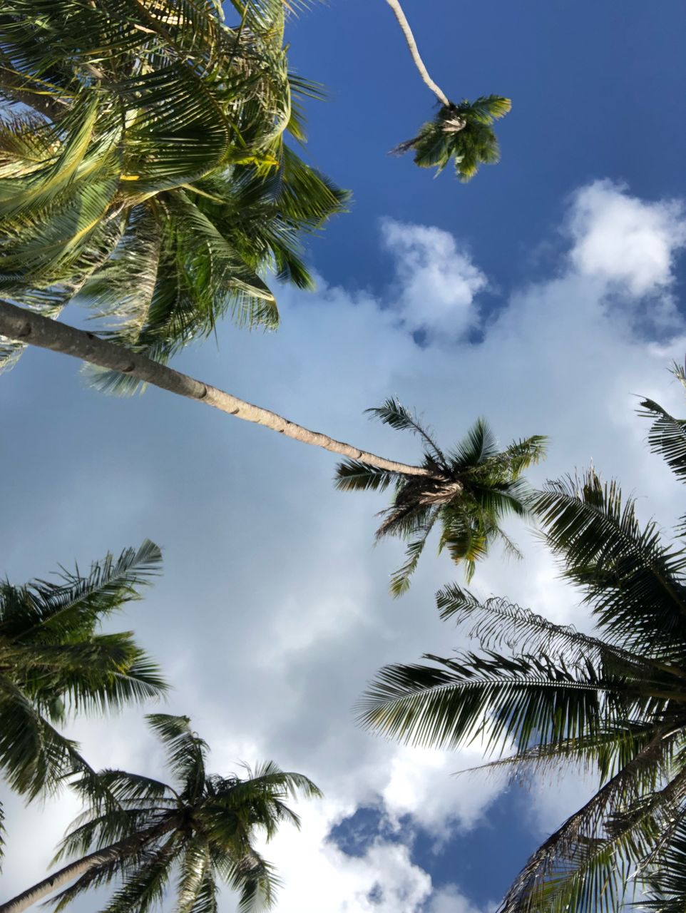tree, plant, low angle view, sky, palm tree, tropical climate, cloud - sky, growth, nature, beauty in nature, day, no people, tree trunk, trunk, branch, tranquility, leaf, outdoors, tall - high, coconut palm tree, palm leaf, tropical tree, directly below