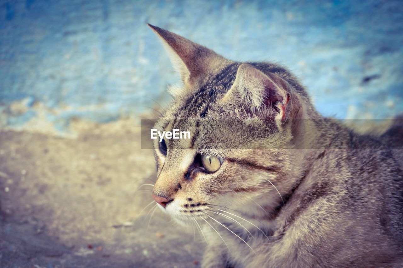 animal themes, mammal, animal, one animal, cat, feline, pets, domestic animals, domestic, domestic cat, close-up, vertebrate, looking away, looking, focus on foreground, day, animal body part, no people, whisker, side view, animal head, animal eye, profile view, tabby