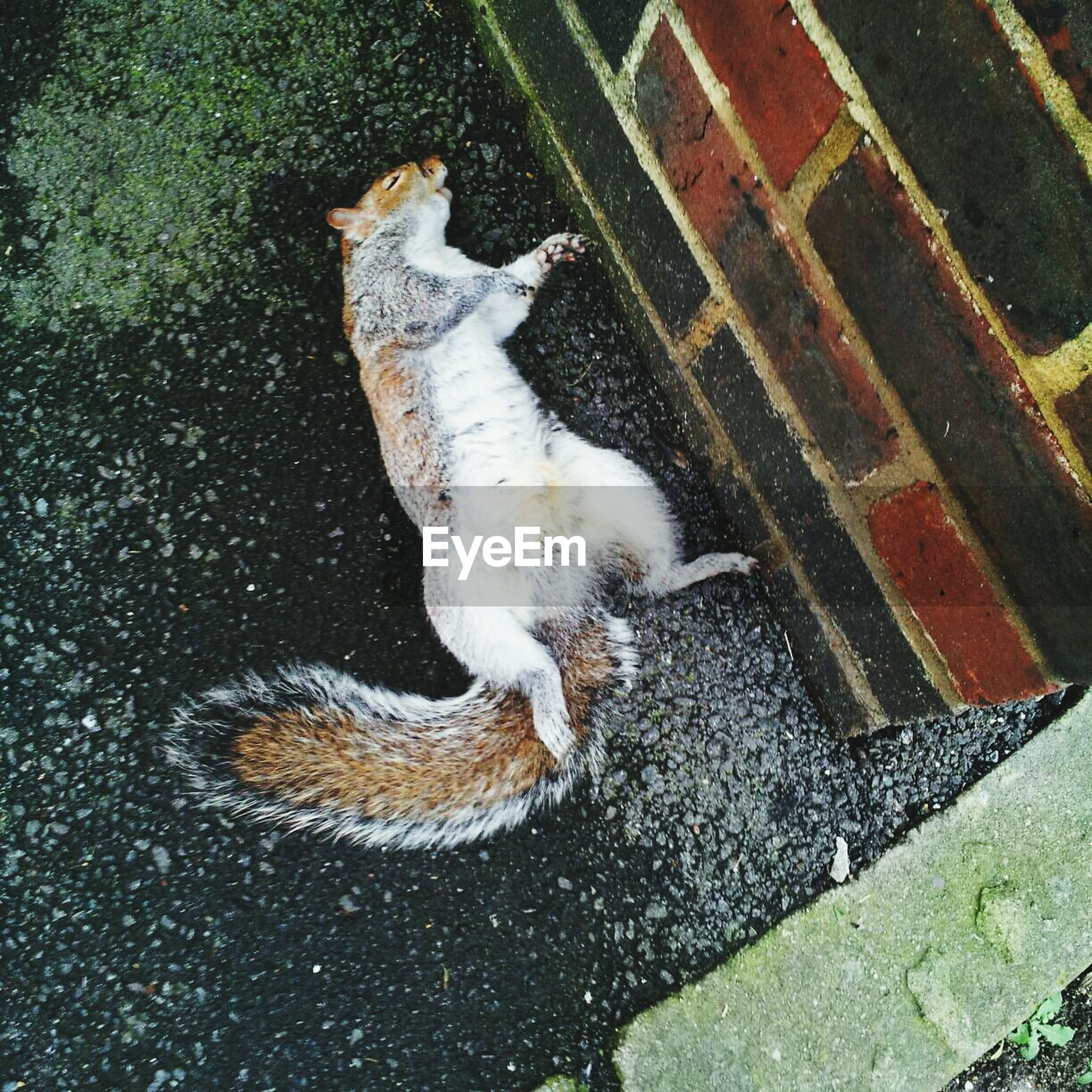 High angle view of dead squirrel on street