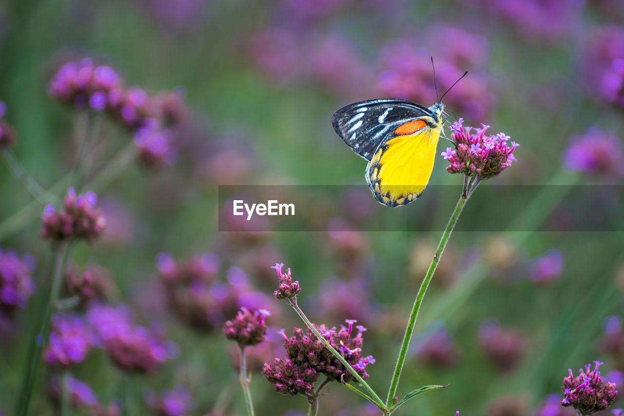 flowering plant, flower, plant, animal wildlife, one animal, invertebrate, animal themes, vulnerability, fragility, insect, animals in the wild, growth, freshness, animal, beauty in nature, flower head, petal, animal wing, pollination, butterfly - insect, purple, no people, pink color, outdoors, lantana, butterfly