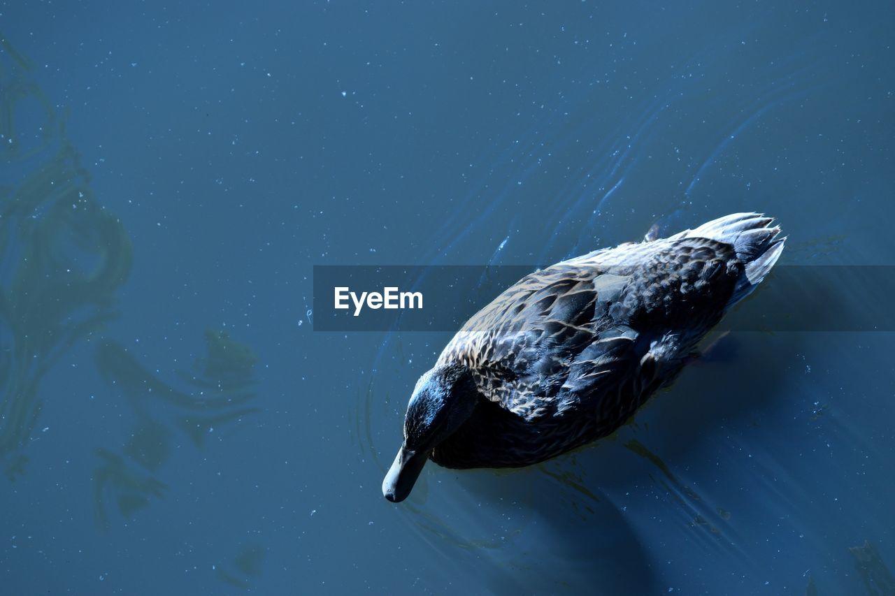 High Angle View Of Female Mallard Duck Swimming In Lake