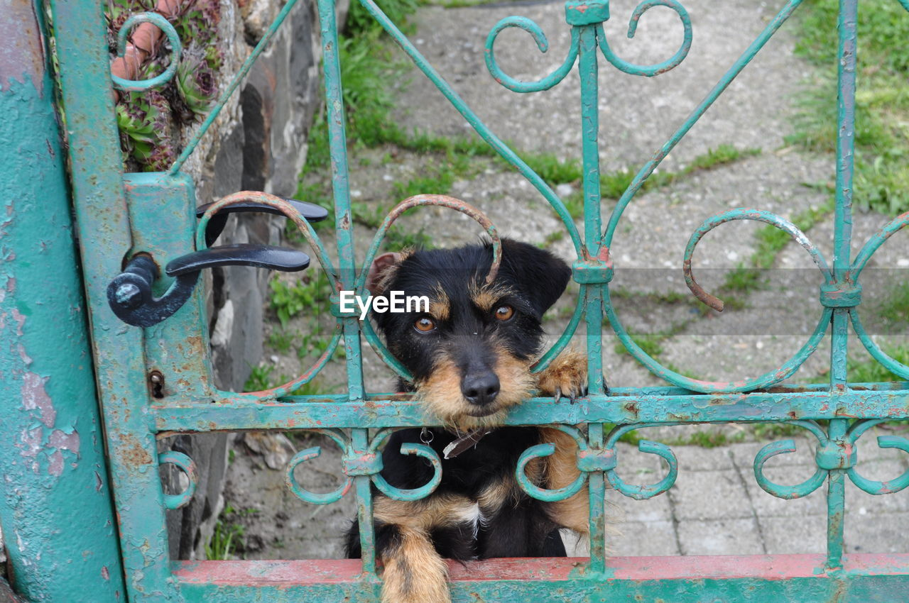 mammal, one animal, dog, canine, pets, domestic animals, domestic, portrait, vertebrate, no people, fence, metal, day, looking at camera, boundary, gate, barrier
