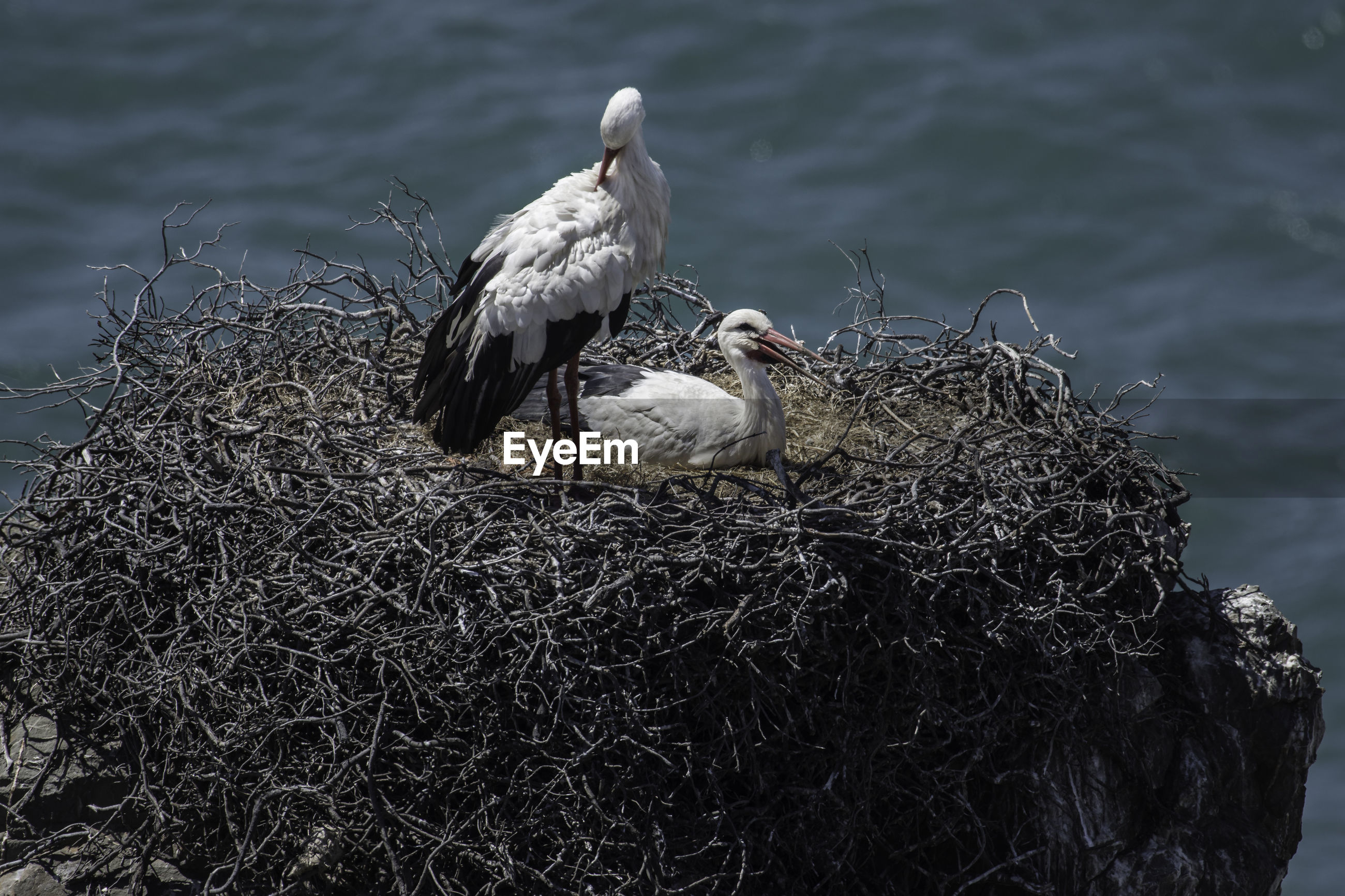 SEAGULLS PERCHING ON NEST