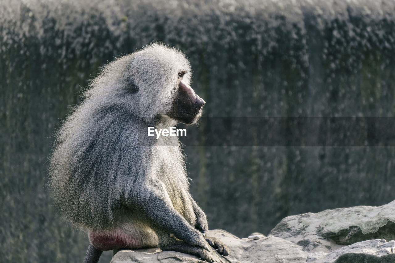 Side View Of Baboon Sitting On Cliff