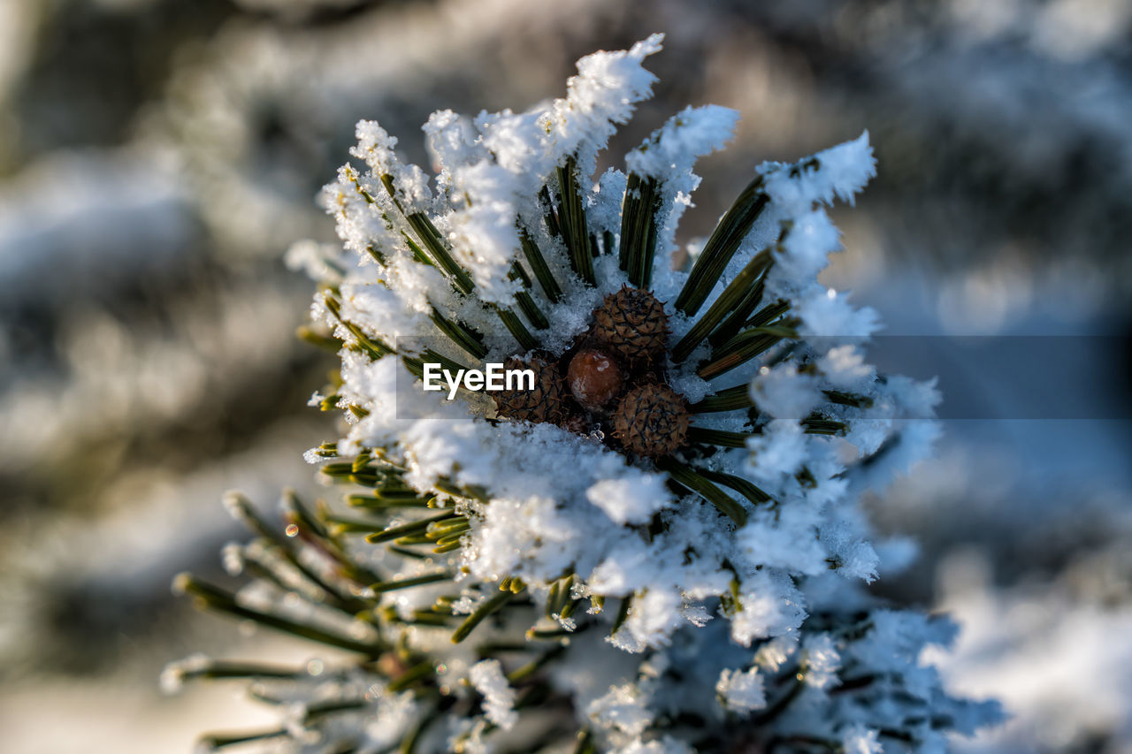winter, cold temperature, selective focus, close-up, nature, snow, plant, day, no people, beauty in nature, growth, frozen, focus on foreground, white color, tree, outdoors, flower, pine tree, ice, coniferous tree