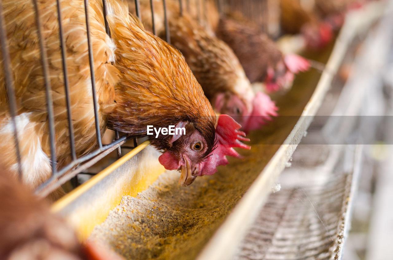 domestic animals, domestic, mammal, pets, animal themes, animal, selective focus, vertebrate, livestock, one animal, chicken - bird, bird, chicken, day, no people, close-up, hen, brown, basket, animal head