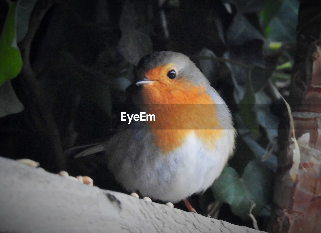 vertebrate, bird, animal wildlife, one animal, animals in the wild, close-up, perching, no people, day, nature, focus on foreground, robin, outdoors, beauty in nature, orange color, looking, looking away