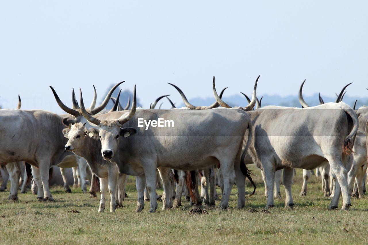 animal, animal themes, group of animals, mammal, domestic animals, vertebrate, field, land, livestock, animal wildlife, no people, grass, nature, domestic, day, plant, animals in the wild, cattle, sky, standing, herd, herbivorous, outdoors