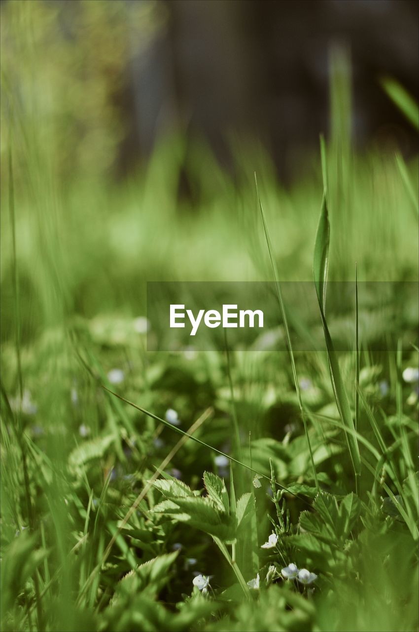 growth, plant, selective focus, grass, green color, field, nature, land, no people, day, beauty in nature, close-up, outdoors, tranquility, freshness, sunlight, green, environment, full frame, blade of grass, surface level