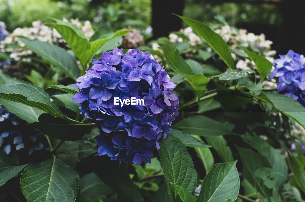 flower, flowering plant, plant, freshness, plant part, beauty in nature, leaf, purple, vulnerability, fragility, petal, growth, close-up, nature, flower head, day, inflorescence, green color, botany, no people, lilac