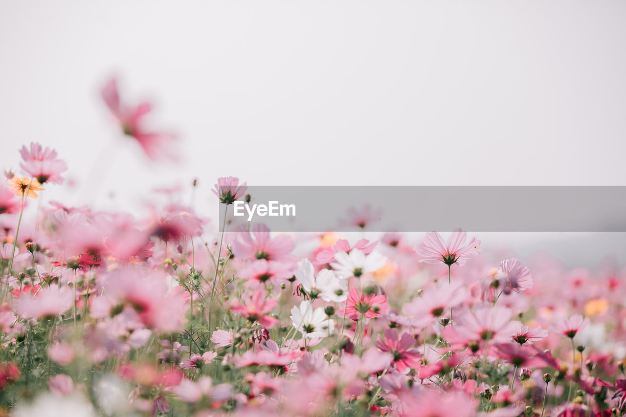 flower, flowering plant, freshness, fragility, vulnerability, plant, pink color, beauty in nature, growth, selective focus, petal, close-up, nature, no people, inflorescence, flower head, day, outdoors, clear sky, copy space, cherry blossom