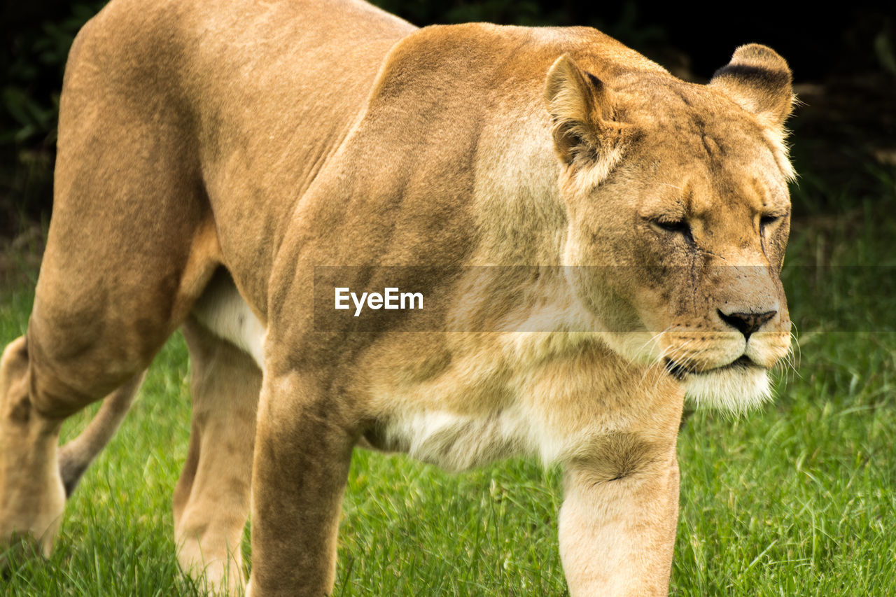 Lioness on grassy field