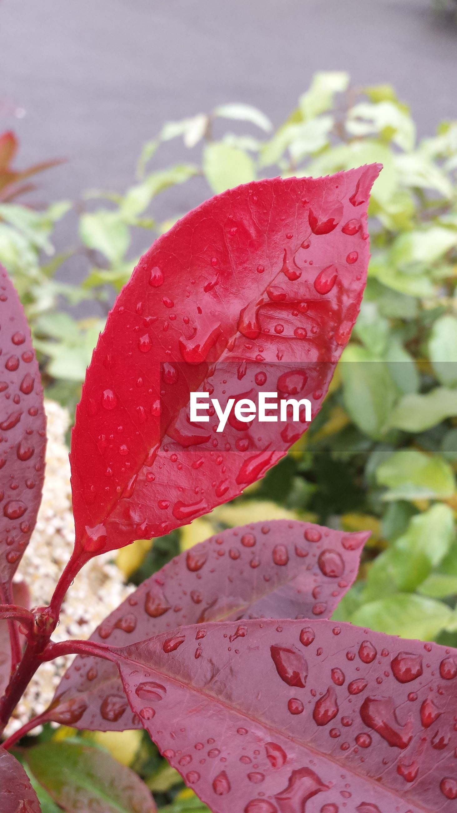 red, close-up, leaf, focus on foreground, freshness, nature, selective focus, no people, day, pink color, growth, vibrant color, season, autumn, beauty in nature, outdoors, heart shape, pattern, fragility, leaves