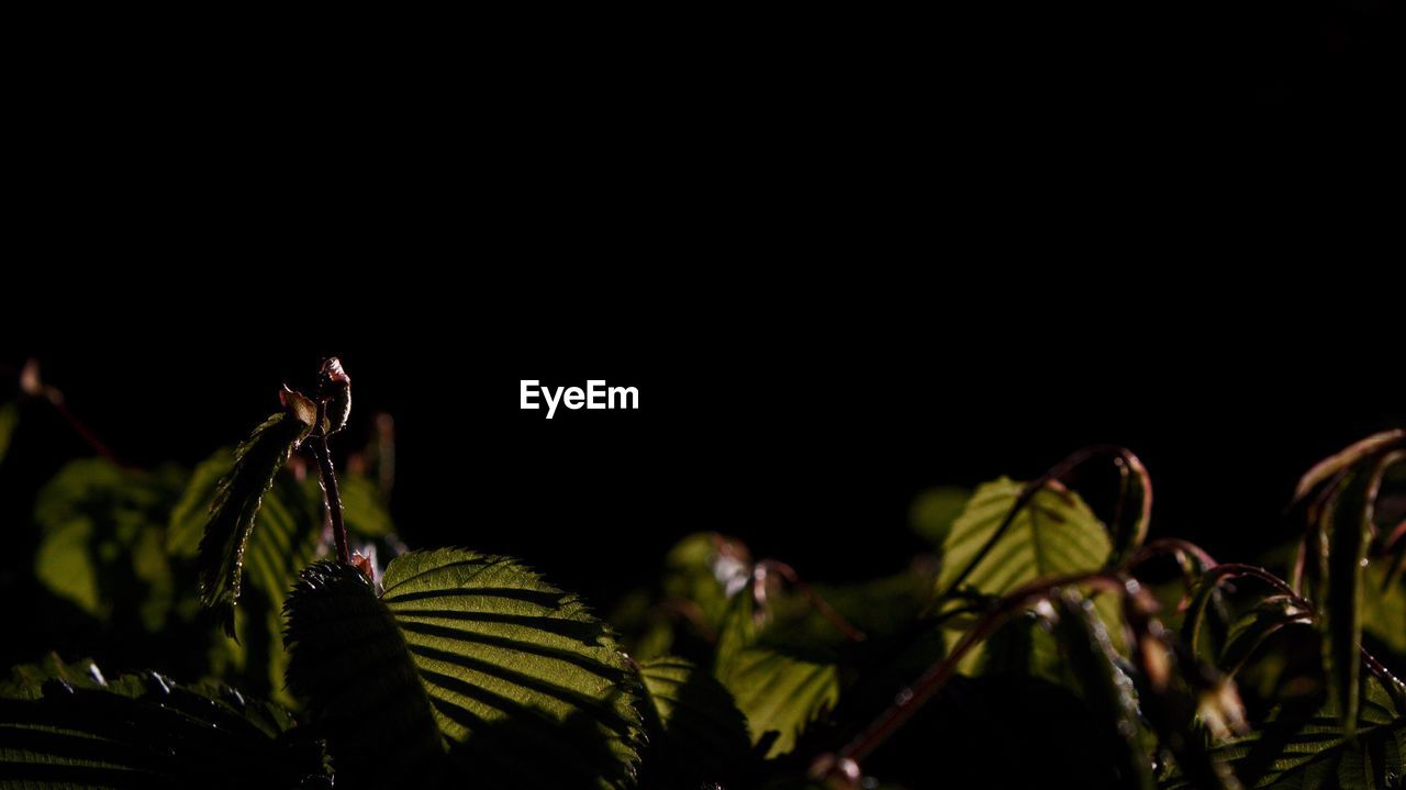 plant, growth, night, nature, beauty in nature, leaf, freshness, close-up, no people, flower, outdoors, fragility, black background, flower head