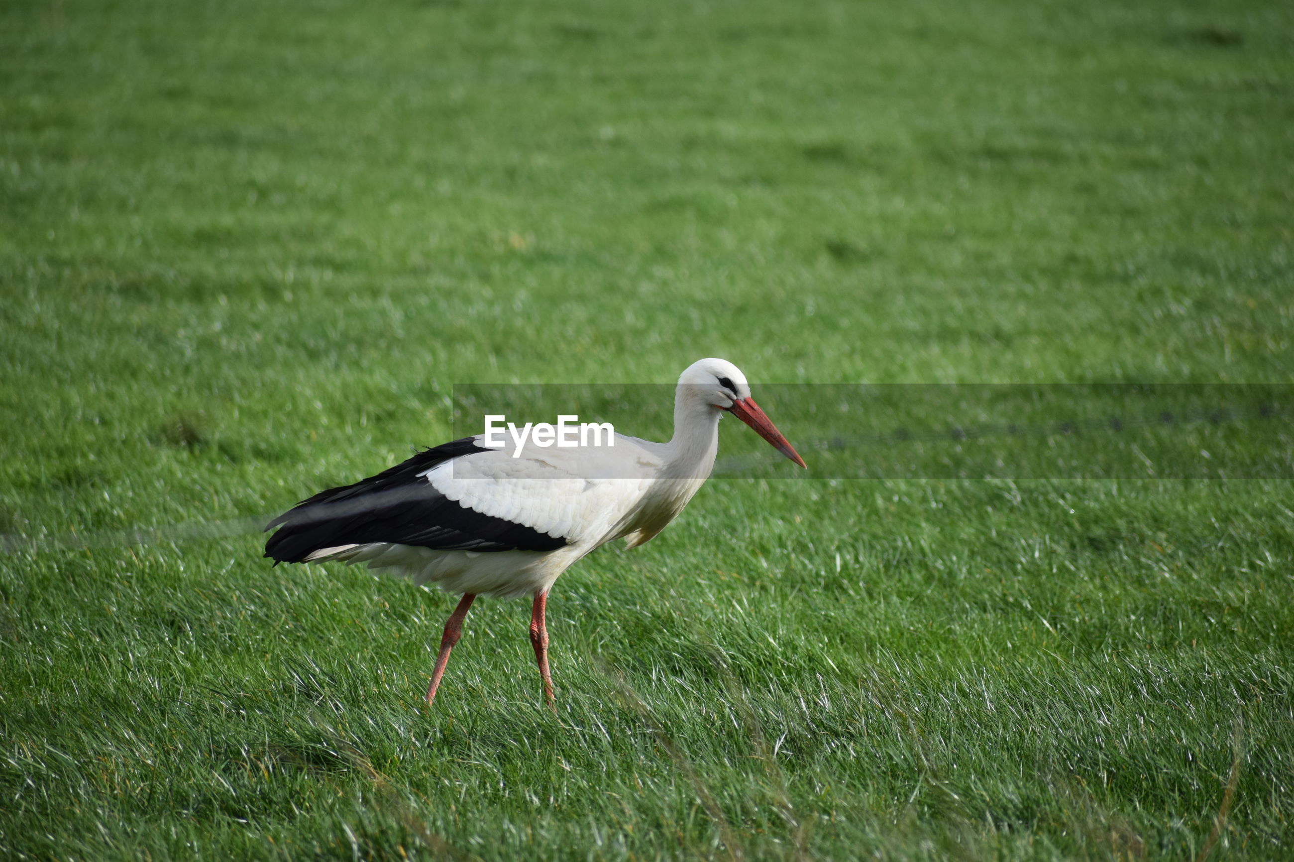 stork / ooievaar Grass Animal Themes One Animal Animal Bird Animals In The Wild Vertebrate Animal Wildlife Plant Green Color Land Nature Field No People Day Side View Outdoors Focus On Foreground Walking Grass Area Storm Cloud Ooievaar
