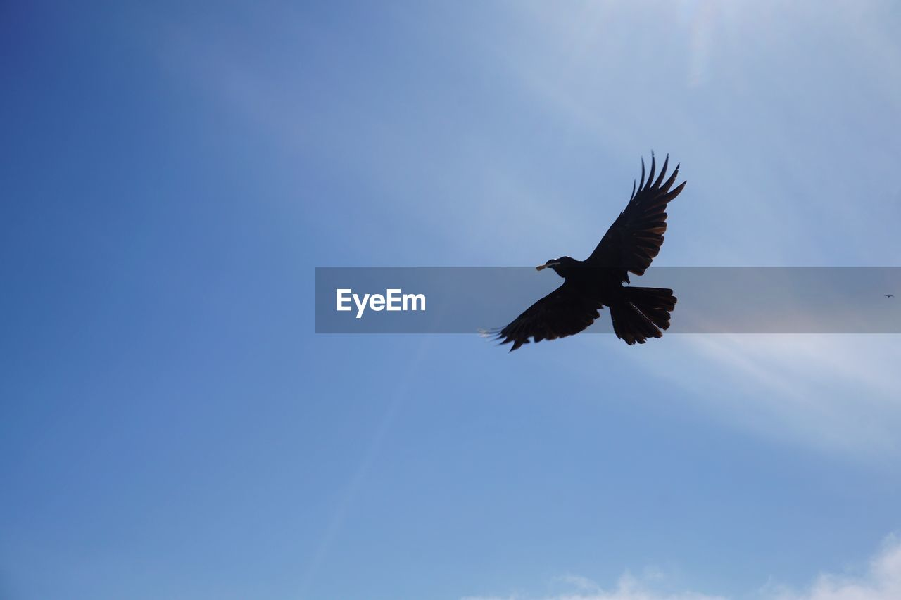 animal wildlife, animals in the wild, flying, bird, vertebrate, animal themes, animal, spread wings, sky, low angle view, one animal, mid-air, no people, cloud - sky, nature, bird of prey, day, motion, blue, freedom, outdoors, eagle