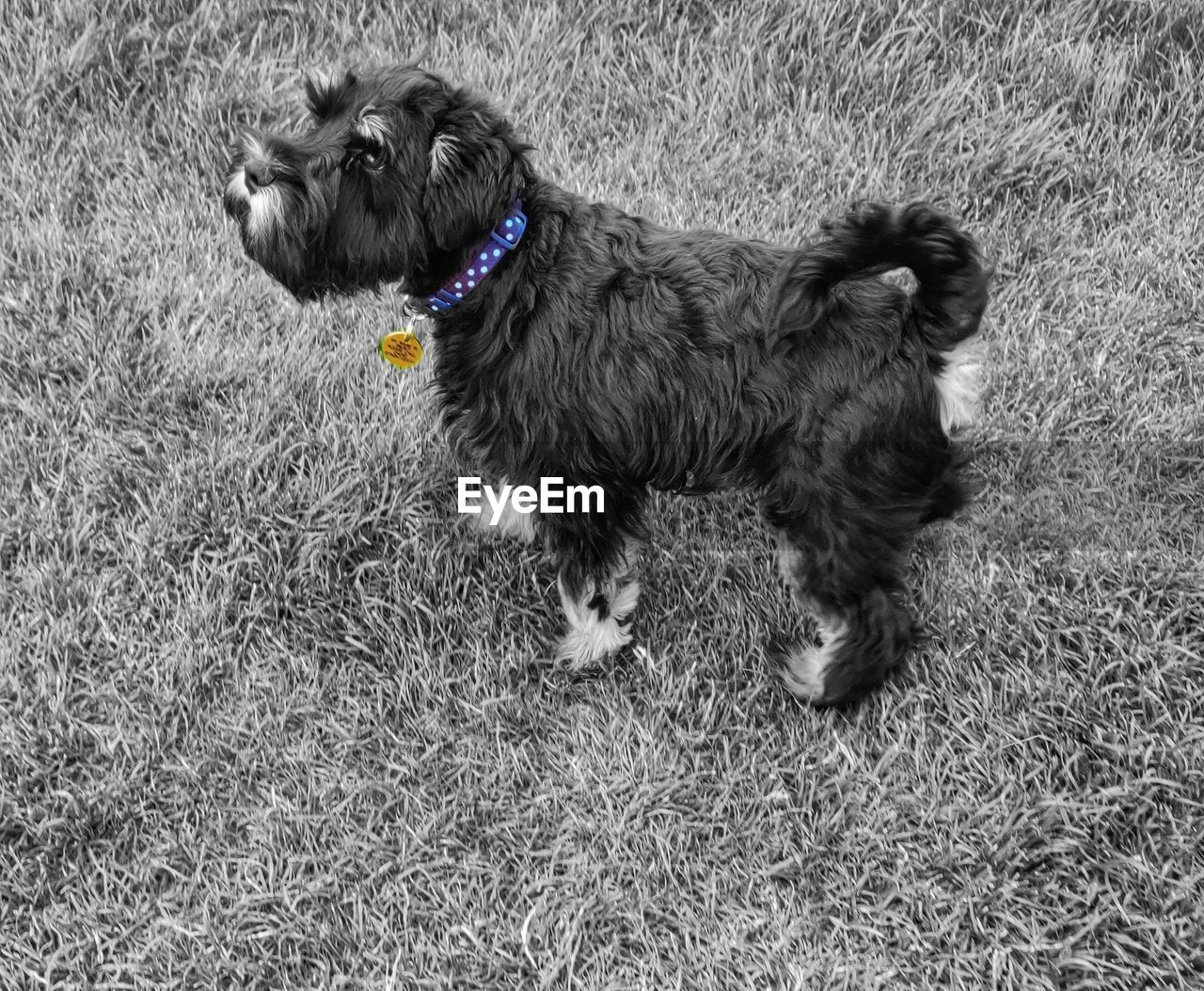 domestic, dog, pets, canine, domestic animals, one animal, mammal, animal themes, animal, grass, vertebrate, plant, field, collar, pet collar, no people, nature, land, standing, leash, small, profile view