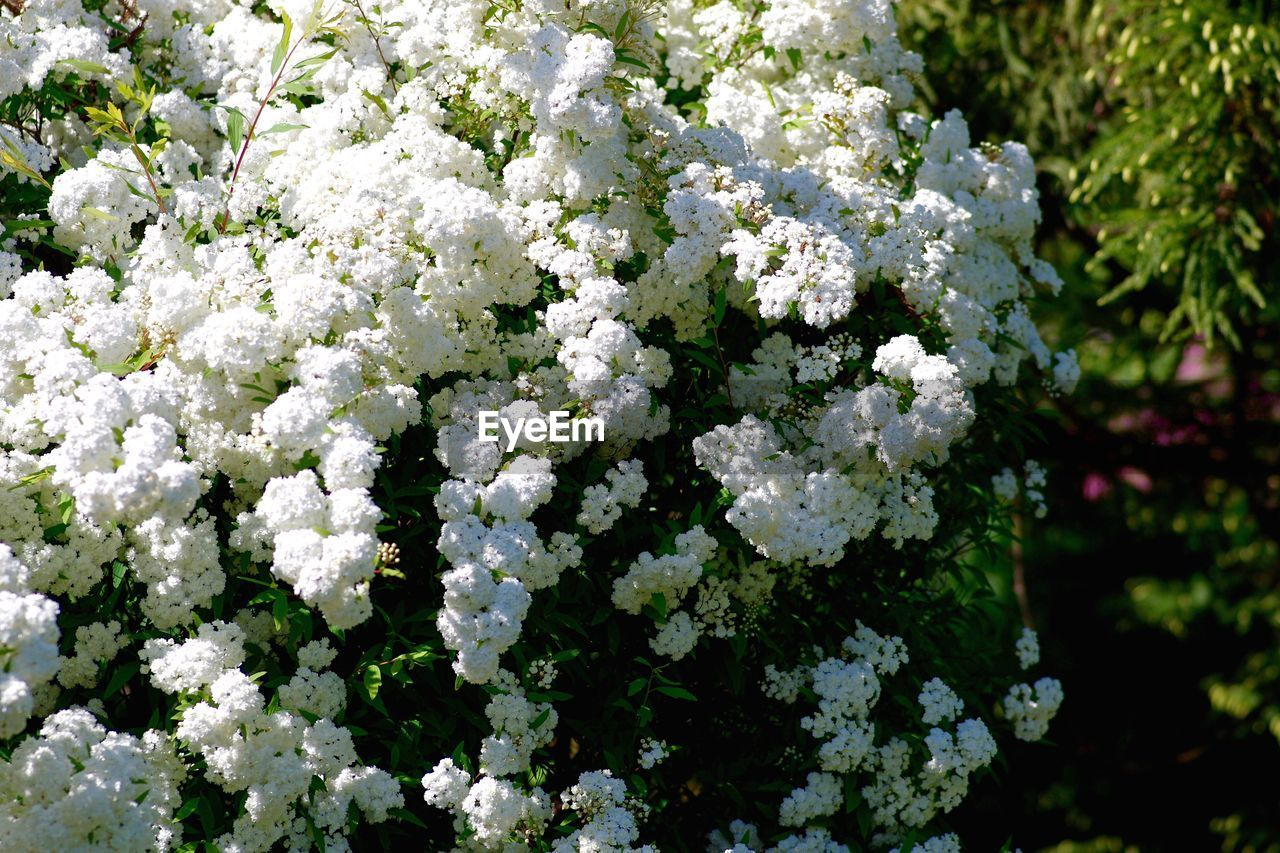 flower, flowering plant, white color, beauty in nature, fragility, plant, growth, vulnerability, freshness, nature, day, close-up, no people, flower head, inflorescence, outdoors, petal, botany, plant part, park, bunch of flowers, lilac