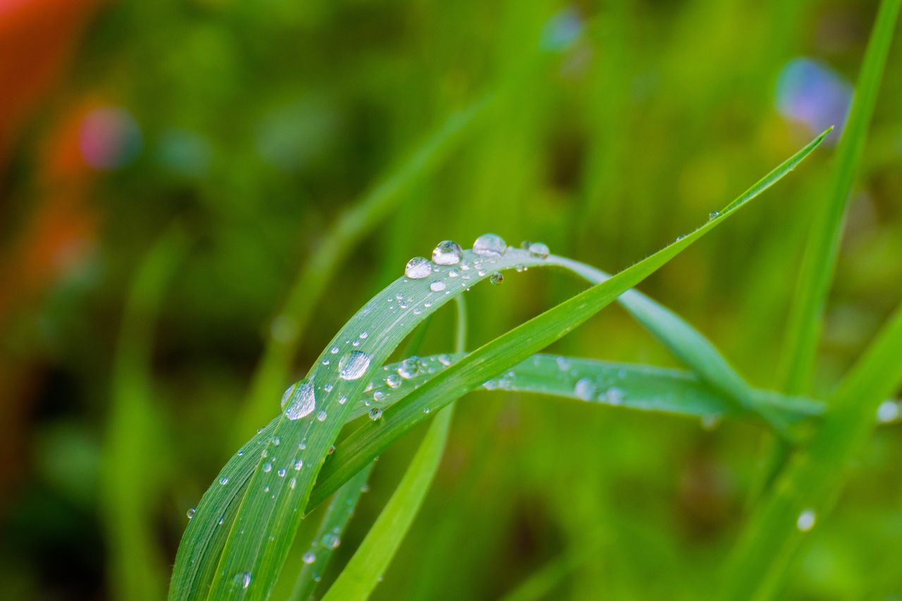 water, drop, growth, plant, beauty in nature, wet, green color, freshness, nature, close-up, vulnerability, dew, fragility, selective focus, no people, day, focus on foreground, grass, blade of grass, outdoors, rain, raindrop, purity, rainy season