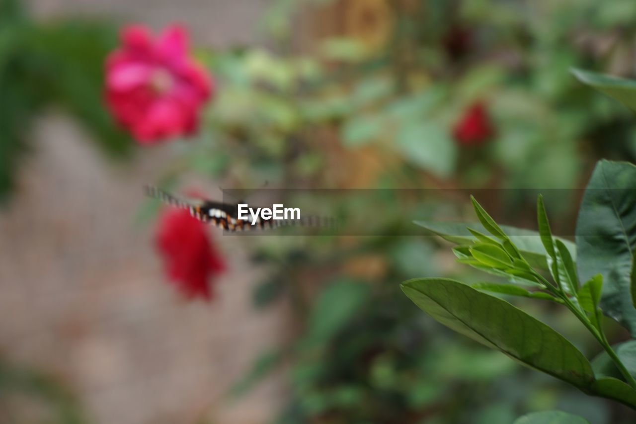 plant, beauty in nature, plant part, leaf, nature, growth, insect, selective focus, flower, close-up, day, one animal, red, invertebrate, no people, animal themes, animals in the wild, animal, animal wildlife, flowering plant, outdoors