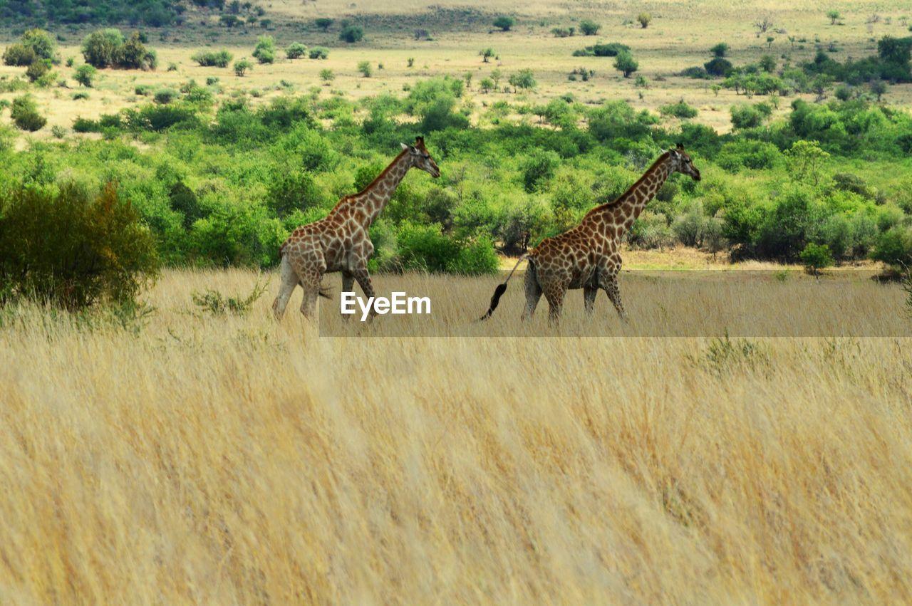 animal themes, animal wildlife, animal, animals in the wild, mammal, group of animals, plant, safari, grass, two animals, walking, environment, no people, nature, landscape, vertebrate, giraffe, day, tree, cheetah, animal family, herbivorous
