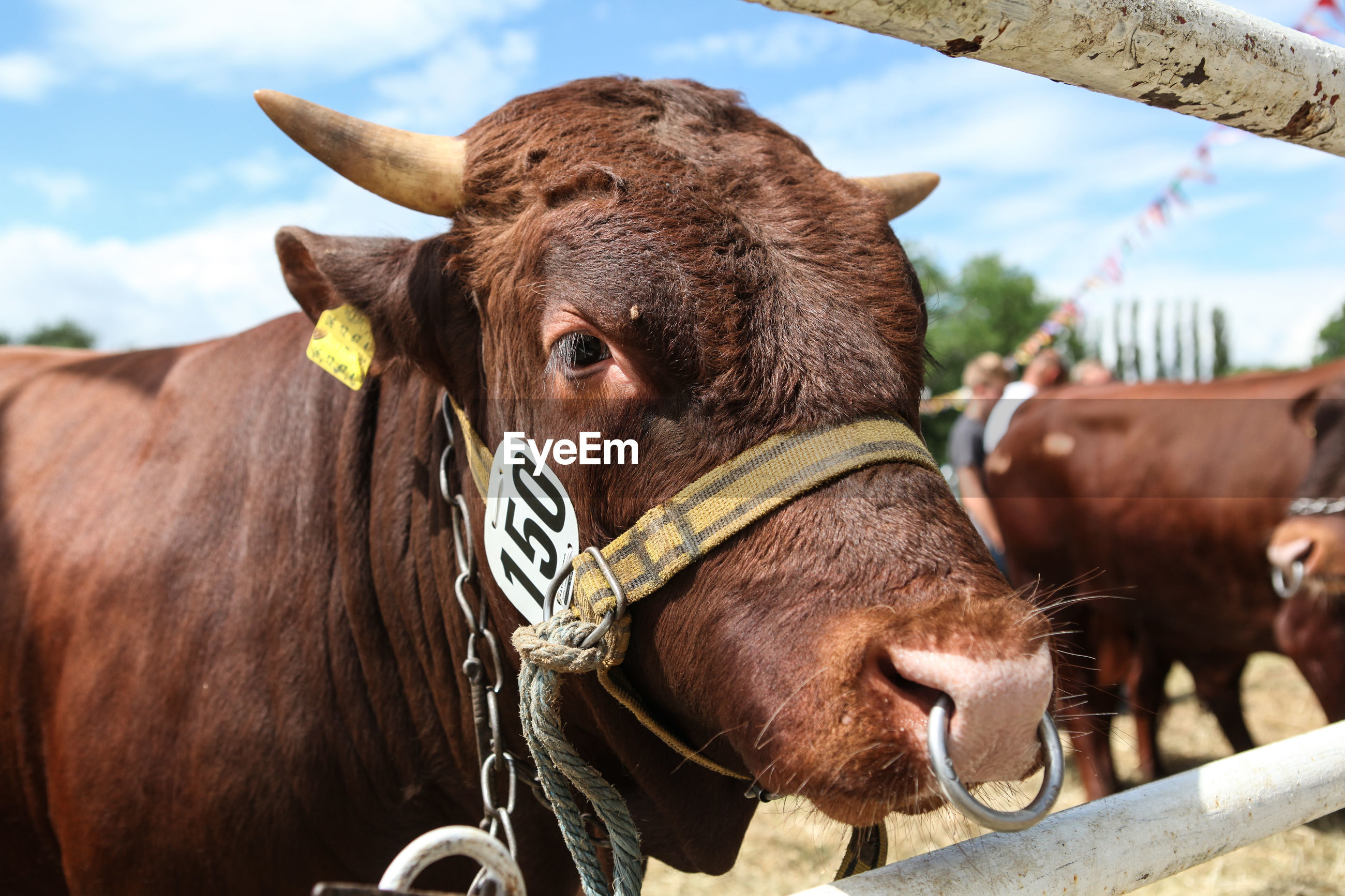 Close-up of cow by fence against sky