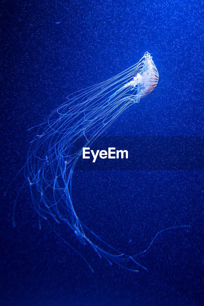 underwater, sea life, sea, marine, animal themes, animals in the wild, animal wildlife, jellyfish, swimming, water, animal, one animal, undersea, invertebrate, blue, tentacle, vertebrate, nature, no people, outdoors, floating on water
