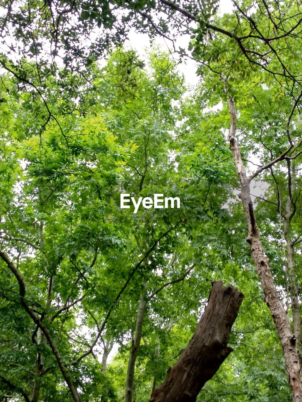 tree, plant, forest, tree trunk, trunk, nature, green color, branch, beauty in nature, land, growth, day, environment, plant part, tranquility, foliage, outdoors, leaf, low angle view, no people, woodland, leaves, tree canopy, directly below