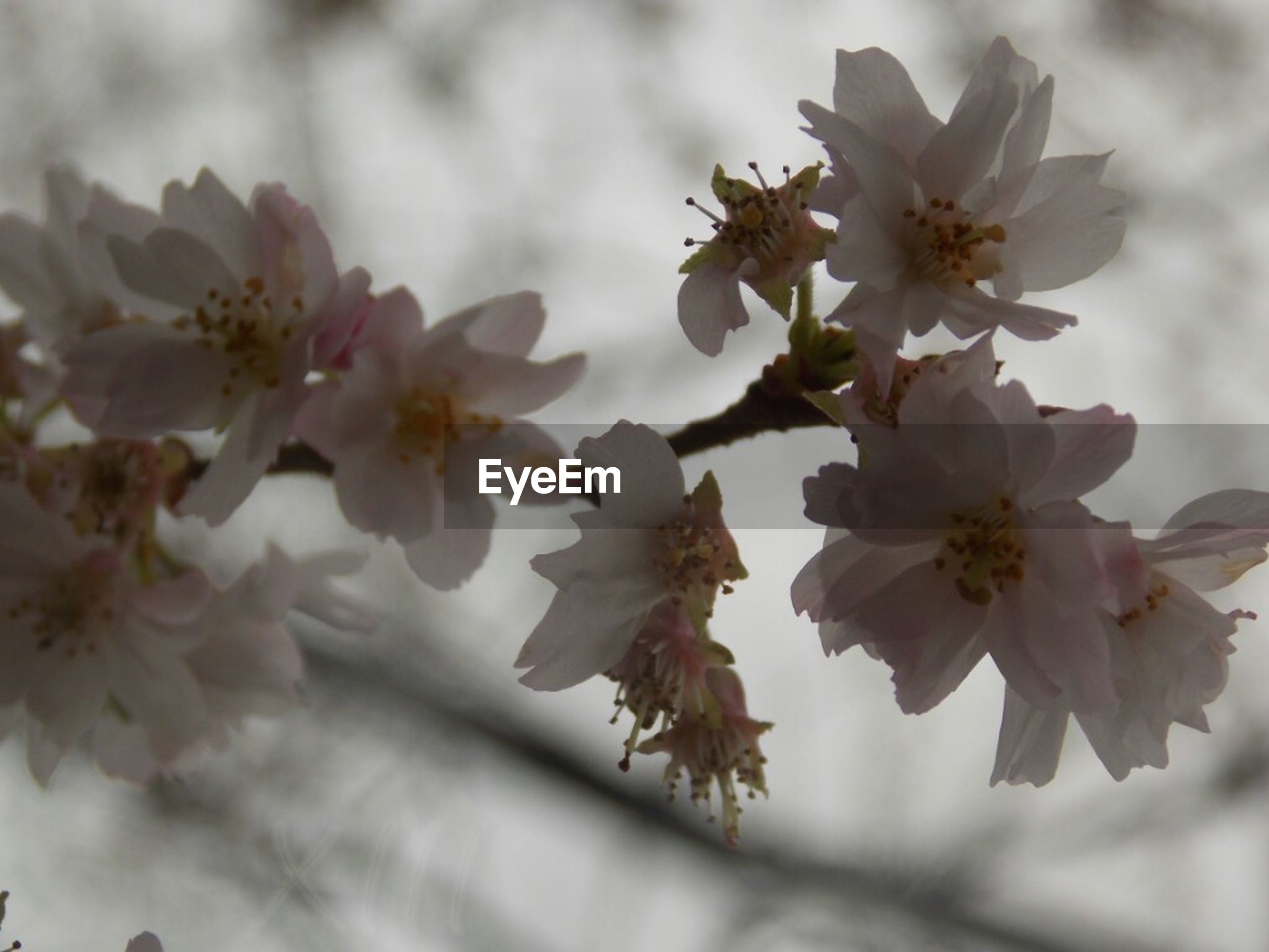 flower, freshness, fragility, petal, growth, beauty in nature, cherry blossom, low angle view, branch, nature, blossom, tree, white color, blooming, flower head, close-up, in bloom, focus on foreground, pollen, cherry tree