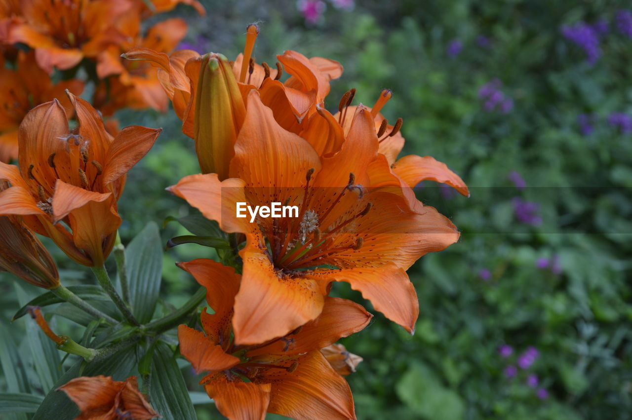 petal, flower, orange color, nature, beauty in nature, flower head, plant, growth, fragility, freshness, blooming, outdoors, no people, day lily, day, close-up