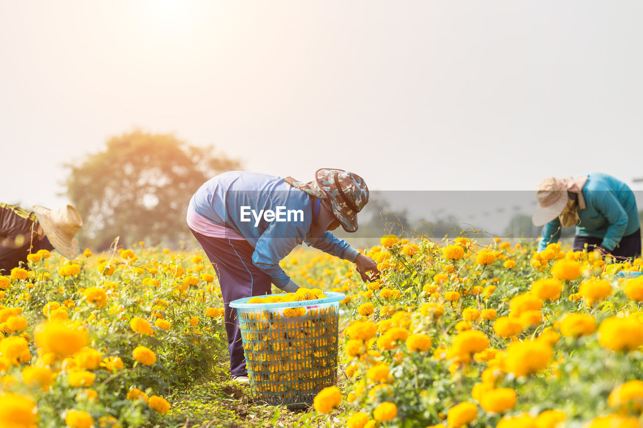 flower, growth, plant, flowering plant, nature, yellow, field, freshness, sky, day, men, land, real people, three quarter length, beauty in nature, lifestyles, agriculture, rural scene, adult, landscape, sunflower, gardening, outdoors, flower head, farmer
