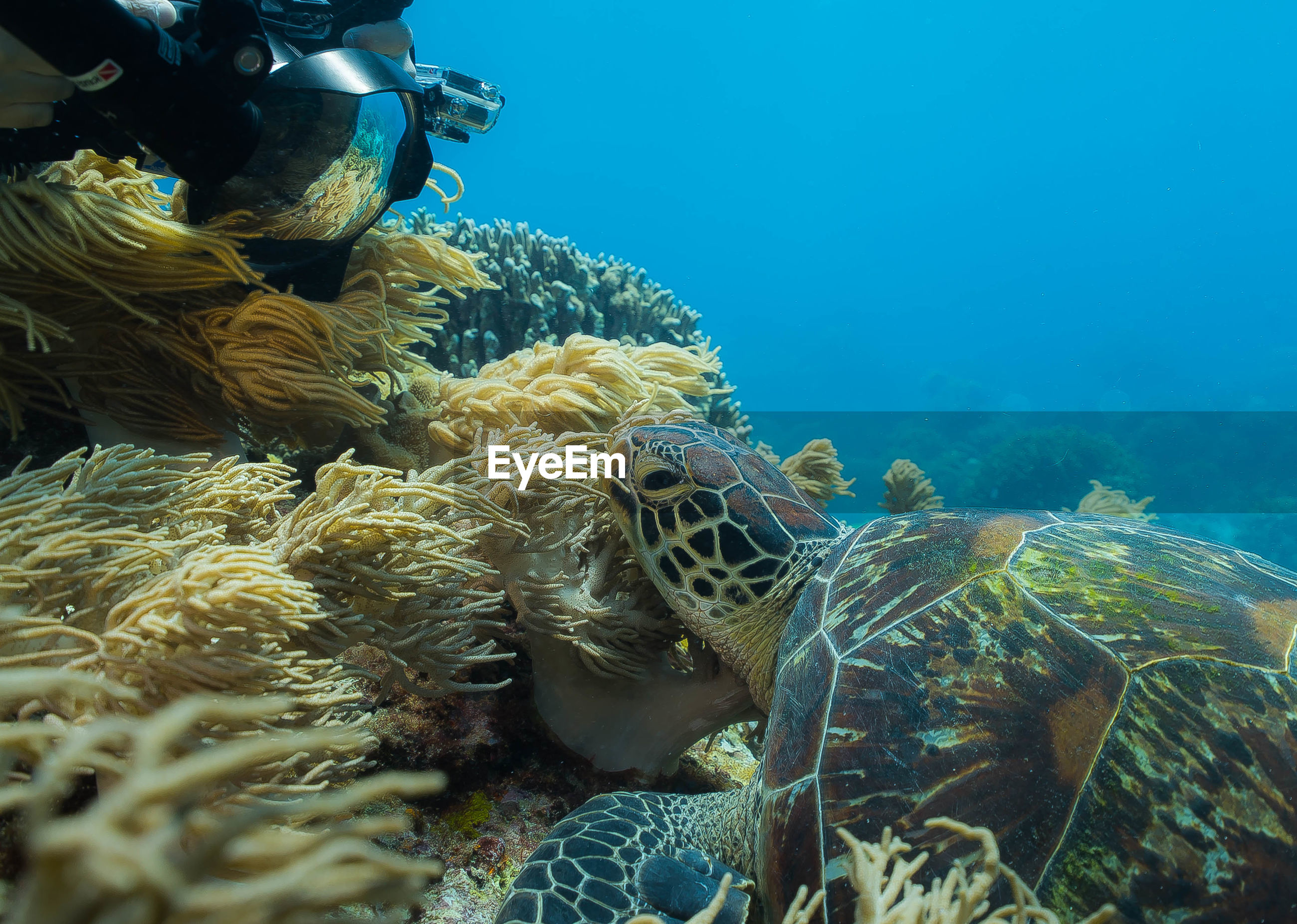 Scuba diver looking at tortoise swimming in sea