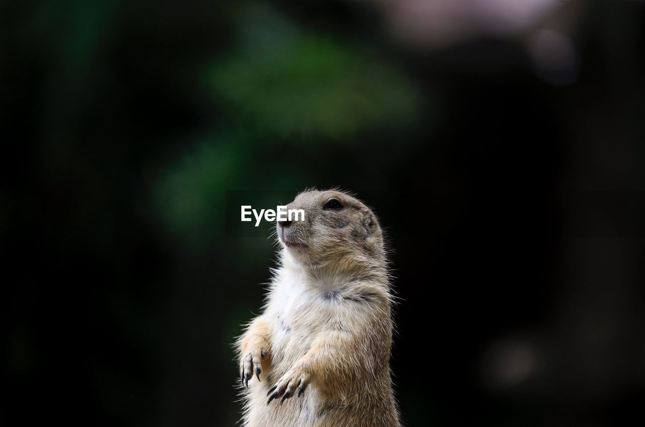 animal, animal themes, one animal, mammal, animal wildlife, animals in the wild, vertebrate, focus on foreground, no people, close-up, looking, meerkat, day, looking away, nature, outdoors, animal body part, rodent, looking up, animal head, whisker