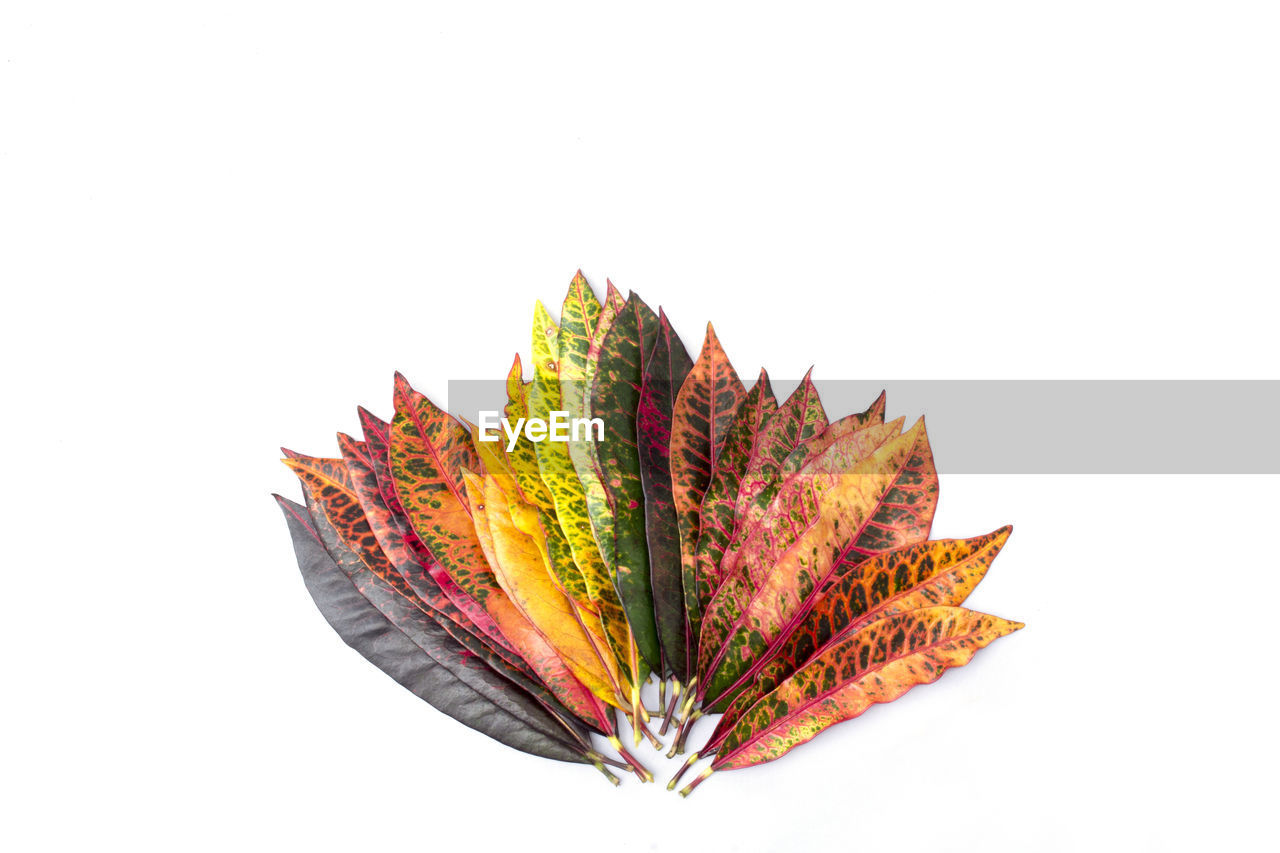 white background, studio shot, plant part, leaf, autumn, multi colored, no people, close-up, cut out, indoors, still life, copy space, change, high angle view, nature, leaves, art and craft, pattern, orange color, vulnerability