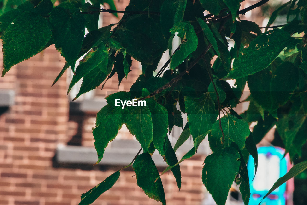 leaf, plant part, plant, green color, growth, focus on foreground, nature, day, tree, close-up, outdoors, beauty in nature, branch, freshness, no people, architecture, brick, selective focus, brick wall, wall