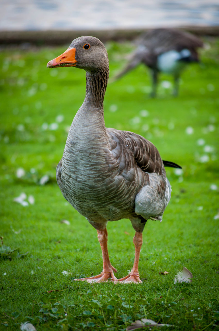 bird, animal themes, animal, grass, animals in the wild, animal wildlife, vertebrate, one animal, nature, focus on foreground, plant, day, green color, no people, field, land, water bird, goose, full length, water, outdoors, beak