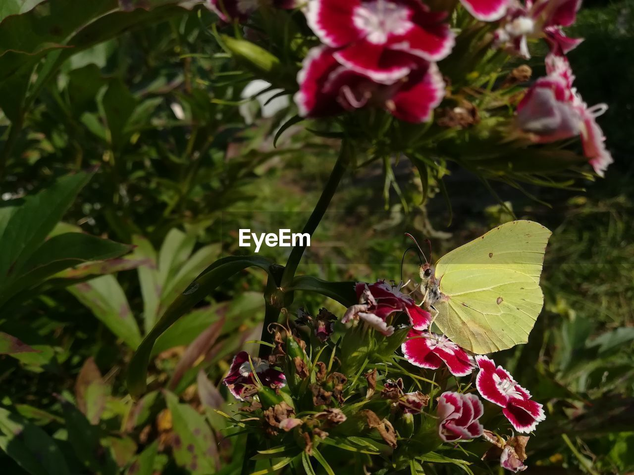 flowering plant, plant, beauty in nature, flower, growth, fragility, vulnerability, freshness, petal, close-up, leaf, plant part, nature, pink color, flower head, day, inflorescence, no people, red, green color, outdoors, springtime, butterfly - insect, pollination