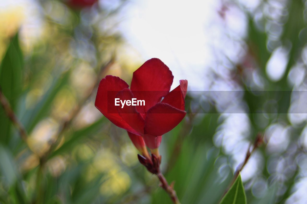 beauty in nature, plant, flower, flowering plant, vulnerability, fragility, red, freshness, petal, close-up, growth, inflorescence, flower head, focus on foreground, nature, day, no people, selective focus, outdoors, botany