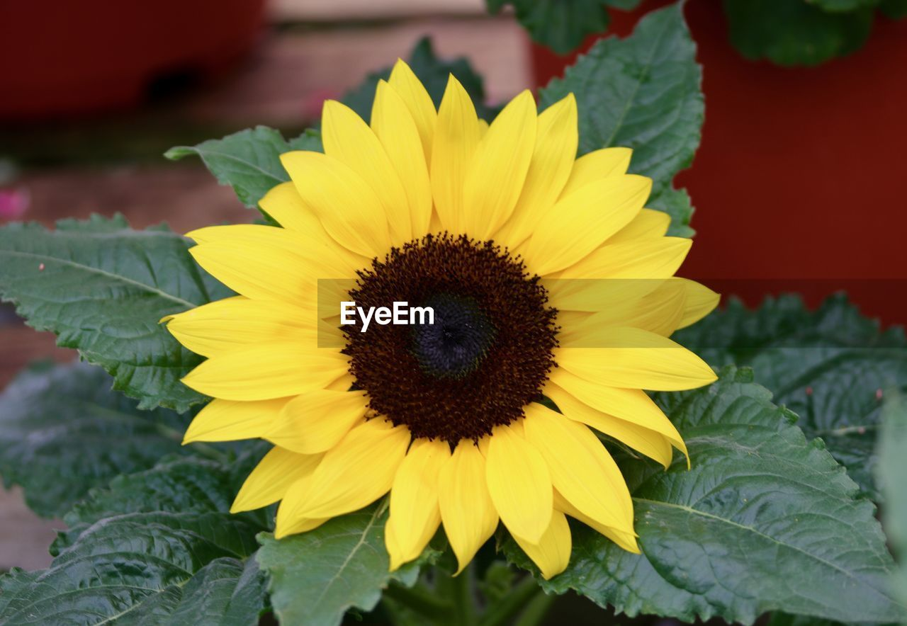 yellow, flower, petal, flower head, flowering plant, growth, plant, inflorescence, vulnerability, freshness, fragility, close-up, beauty in nature, plant part, leaf, nature, sunflower, no people, pollen, gazania