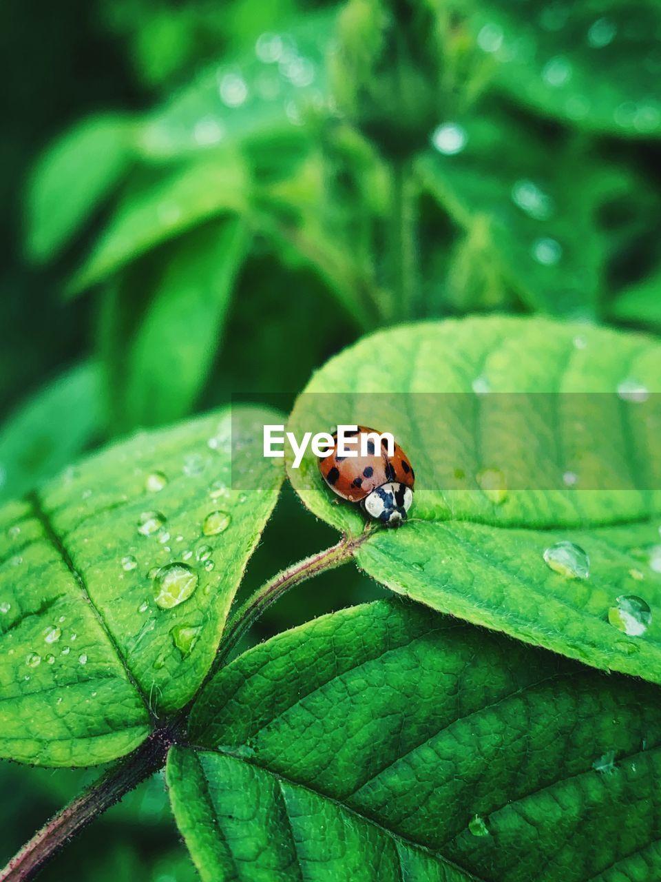 Close-up of ladybug on a rose bush leaf