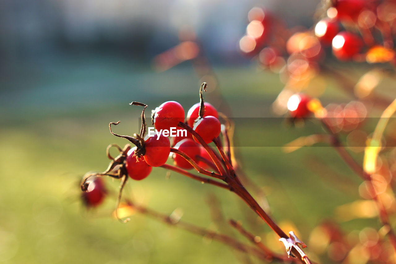 red, plant, growth, freshness, close-up, no people, beauty in nature, selective focus, nature, fruit, focus on foreground, food, healthy eating, food and drink, day, fragility, vulnerability, flower, berry fruit, plant part