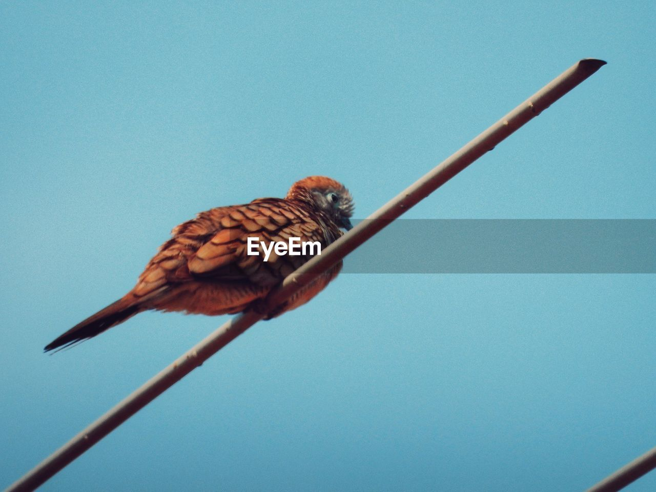 animal wildlife, animal, animals in the wild, animal themes, bird, one animal, vertebrate, sky, clear sky, low angle view, blue, no people, perching, nature, copy space, day, close-up, cable, full length, colored background, blue background