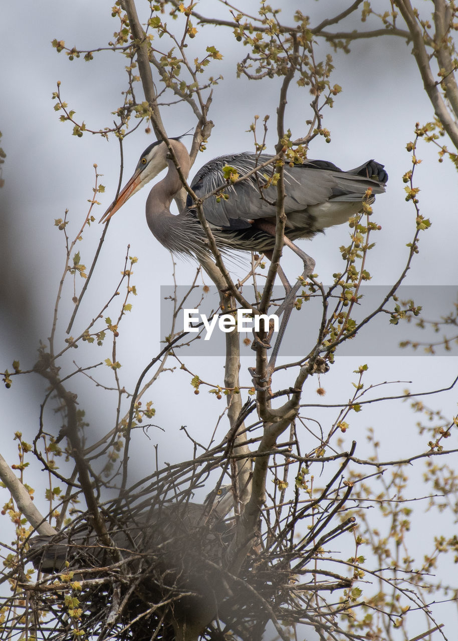 bird, animal, animal themes, vertebrate, animal wildlife, animals in the wild, tree, one animal, branch, plant, perching, no people, nature, day, low angle view, outdoors, sky, beauty in nature, focus on foreground, bare tree