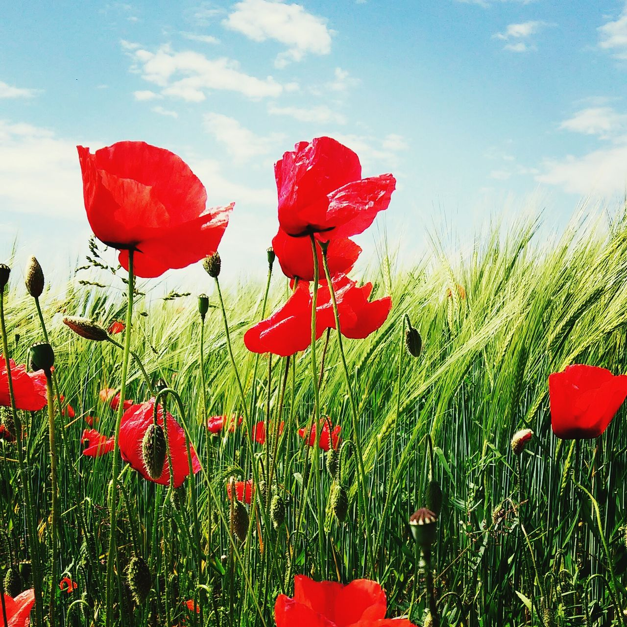 Close-Up Of Red Poppy Flower Growing On Grassy Field