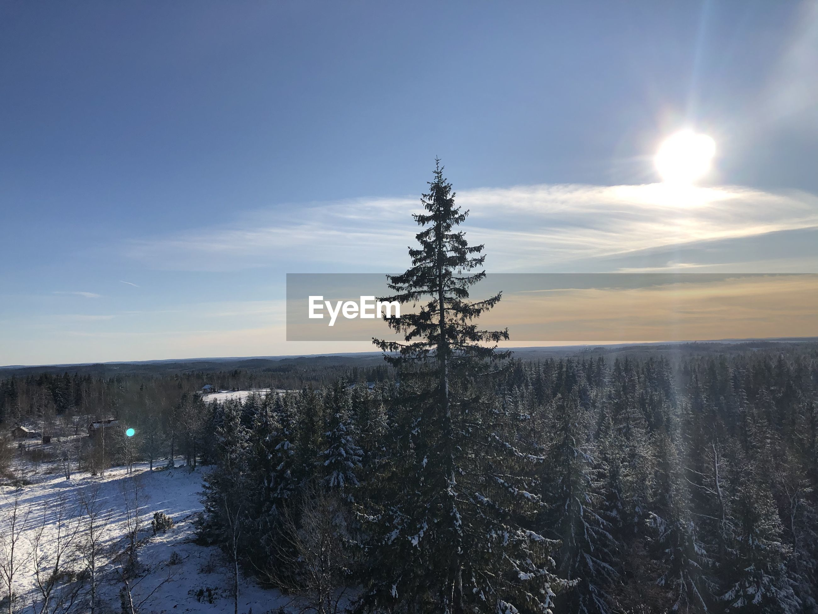 Pine trees on snow covered land against sky at sunset