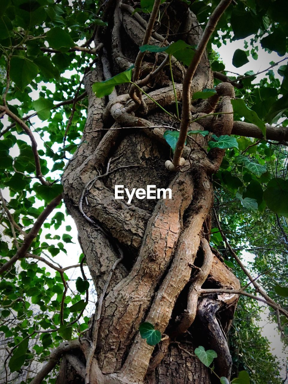 tree, tree trunk, branch, growth, nature, low angle view, no people, leaf, day, outdoors, root, forest, green color, beauty in nature, plant, close-up, dead tree