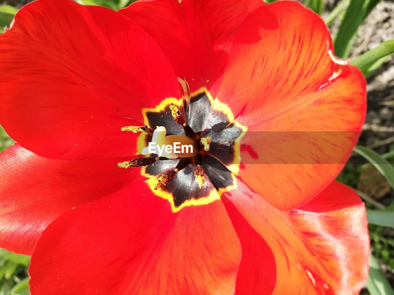 flower, petal, flower head, fragility, beauty in nature, nature, freshness, growth, plant, blooming, close-up, pollen, stamen, no people, day, outdoors, red, hibiscus, poppy, day lily