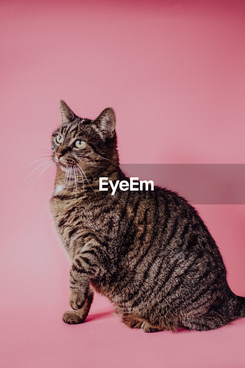 Close-up of a cat against pink background