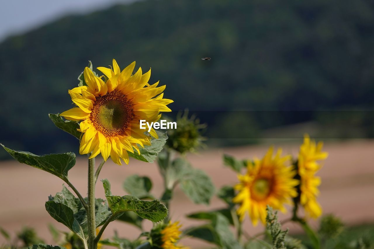 yellow, flowering plant, flower, fragility, vulnerability, petal, flower head, inflorescence, plant, freshness, growth, beauty in nature, close-up, nature, focus on foreground, no people, day, pollen, field, outdoors, sunflower, gazania, sepal