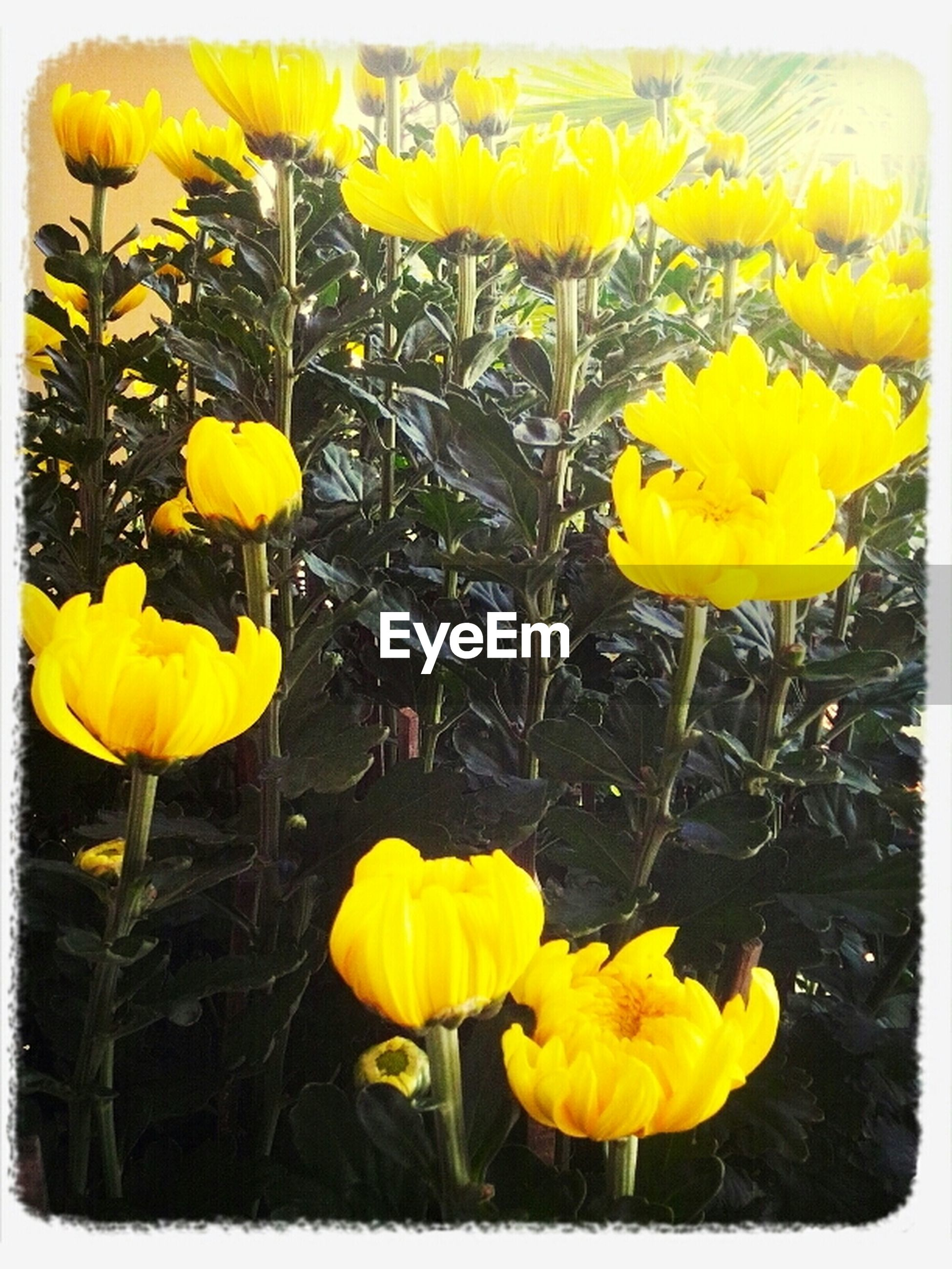 yellow, flower, fragility, transfer print, petal, freshness, flower head, growth, plant, auto post production filter, beauty in nature, nature, blooming, stem, close-up, leaf, field, in bloom, blossom, vibrant color